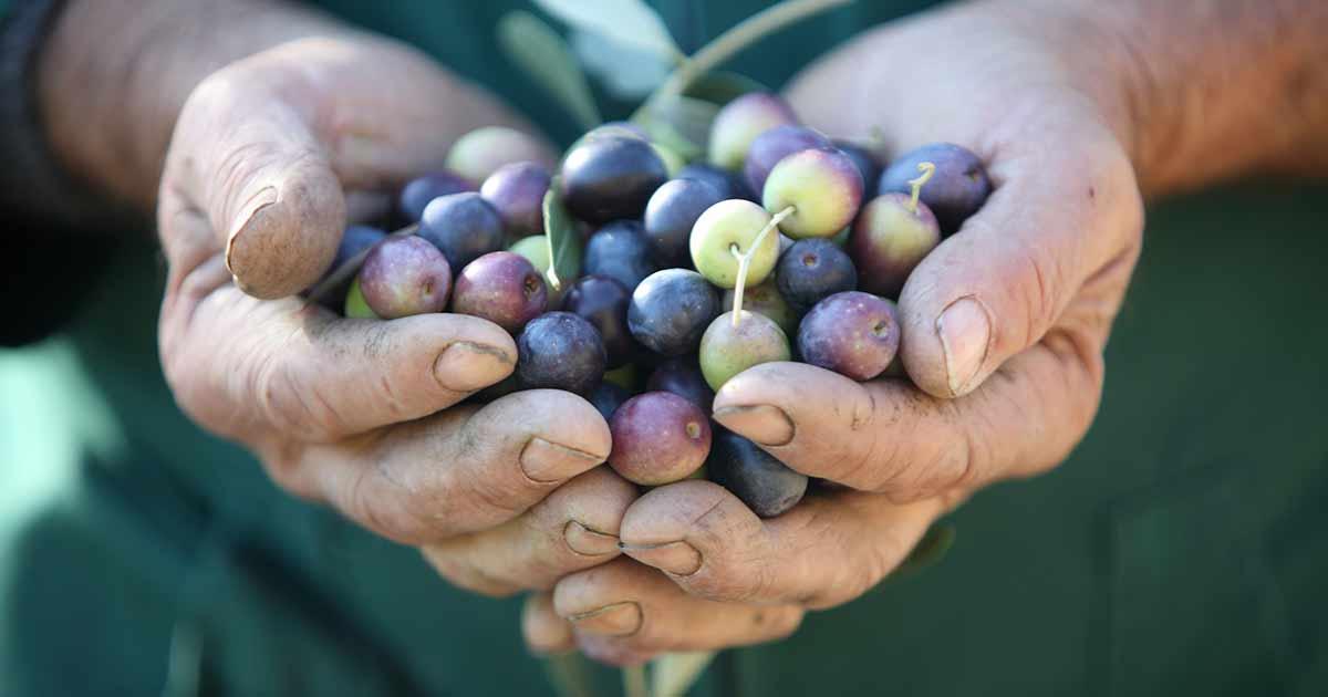 Măsline în mâinile fermierului